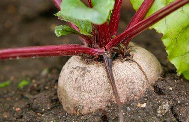 Корнеплод в земле