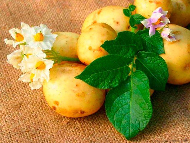 Цветы картошки