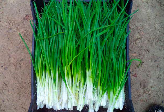 Урожай зеленого лука