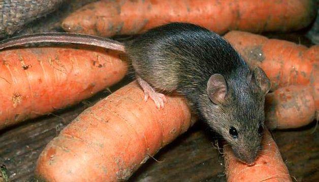 Мышь на моркови
