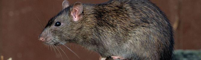 Подвальная крыса